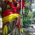india-sacred-bodhi-pipal-ficus
