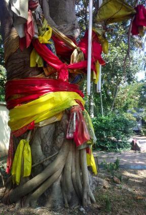india-sacred-bodhi-pipal-ficus.jpg